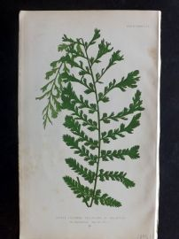 Lowe 1869 Antique Fern Print. Lastrea Filix-Mas 1A